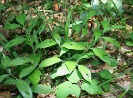 Ruscus hypoglossum - Wikipedia, la enciclopedia libre