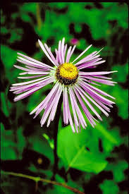 Aster in Flora of China @ efloras.org
