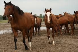 cavalls,
