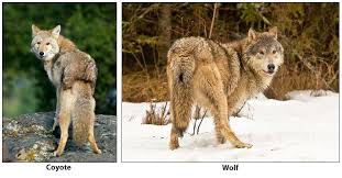 Distinguishing between Coyotes, <b>Wolves</b> and Dogs