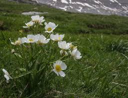 Ranunculus pyrenaeus - Pyrenees | Ranunculus, Flora, Plants