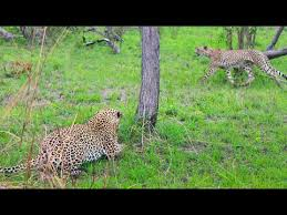 Cheetah Walks Right into a <b>Leopard</b> - YouTube