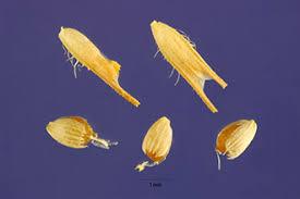 Plants Profile for Phleum pratense (timothy)