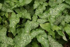 Alien Plant Invader: Italian arum (Orange Candleflower)   City Green ...