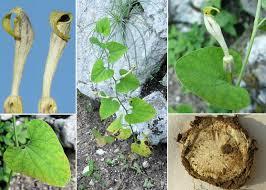 Aristolochia pallida Willd. - Esploriamo la flora: un progetto per le ...