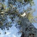 Images & Illustrations of forest red gum