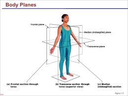 the language of anatomy anatomical position and directional terms planes and sections of the human body
