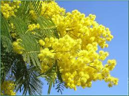 Risultati immagini per mimosa fiore