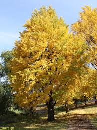 Image result for ginkgo tree losing its leaves