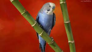 Znalezione obrazy dla zapytania papuga falista szaro niebieska