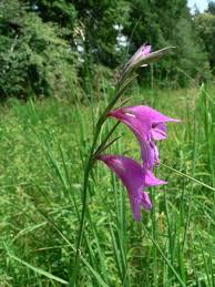 Gladiolus palustris - Gaudin