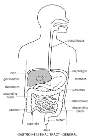 gastro intestinal tract   diagram   patienti  l jpg