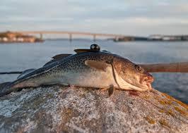 Bildresultat för torsk