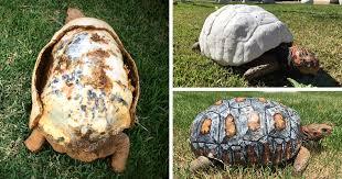 Injured <b>Tortoise</b> Receives World's First <b>3D</b> Printed Shell   Bored Panda