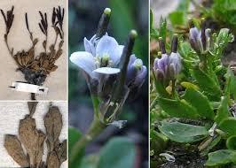Arabis caerulea All. - Portale sulla flora del Parco Naturale delle ...