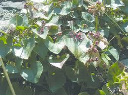 Cuscuta palaestina on Symphyandra samothracica (photo B. Biel ...