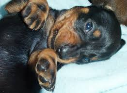 Image result for dachshunds