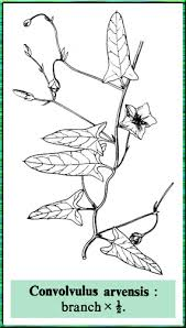 Convolvulus arvensis in Flora of Pakistan @ efloras.org