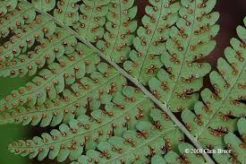 Image result for Marginal Wood Ferns
