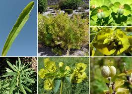 Euphorbia esula L. subsp. esula - Flora urbana della città di Trieste