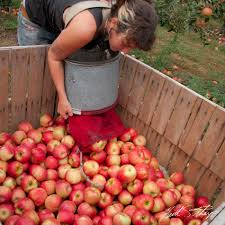 londonderry apple picking photo essay londonderry emptying apple basket