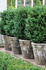 Small Picture Best 25 English boxwood ideas on Pinterest Dwarf english