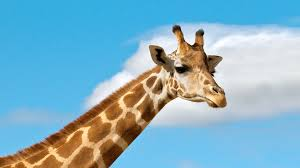 <b>Giraffe</b> | San Diego Zoo Animals & Plants