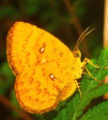 Callidulidae - Wikipedia