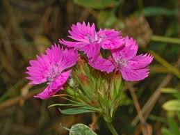 Dianthus balbisii - Wikispecies