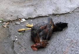 Resultado de imagem para home mata as galinhas
