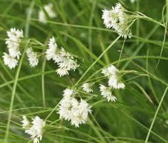 Luzula nivea - Xera Plants