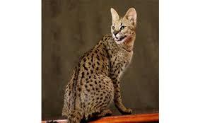 صور قطط الماو مع الوان مختلفة من قط الماو Mau Cat