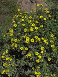 Dasiphora fruticosa ssp. floribunda (Shrubby cinquefoil) | Native ...