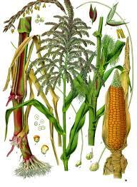 Maize - Wikipedia