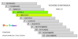 Airopsis tenella [Nebbia globosa] - Flora Italiana