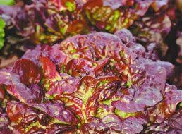 <b>Семена Салат листовой</b> Дольче Вита : описание сорта, фото ...