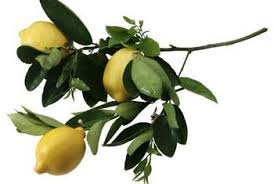 lemon tree x: prune potted lemons to maintain an open canopy with healthy branches