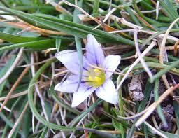 Romulea columnae - Wikipedia, la enciclopedia libre