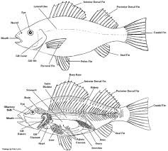 fish  fish anatomy and fish fin on pinterestlabel a fish printable   google search
