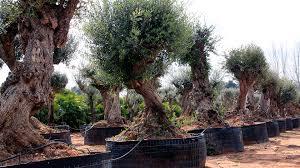 Bildergebnis für Pflanze Olea Europaea