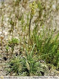 Plantago holosteum | Flora-On