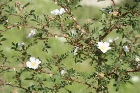 Acker-Rose – Wikipedia