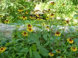 Rudbeckia hirta (Black-eyed susan) | Native Plants of North America