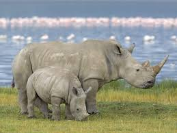 Resultado de imagen para el rinoceronte blanco