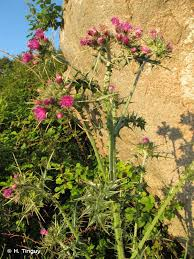 Cirsium italicum DC., 1813 - Cirse d'Italie - Présentation