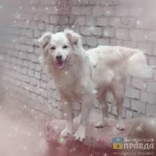 У собаки, найденной в Волжском, <b>ошейник с цепью</b> врос в шею ...