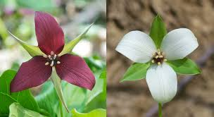 Image result for trillium
