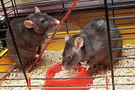 Resultado de imagen para ratas y jaulas