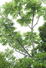 Zanthoxylum ailanthoides