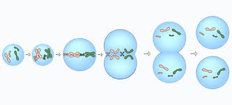 Image result for mitosis steps and description